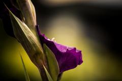 Gladiole 1