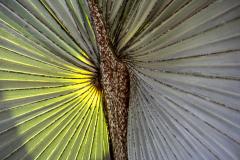 Sonnenpalme-x