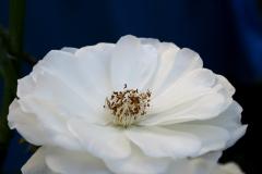 weisse-Rose-x