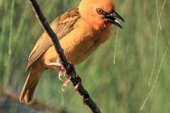 Webervogel 3