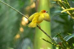 Webervogel 1