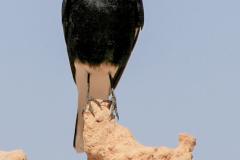 Wüstenvogel